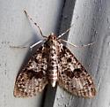 5226 – Palpita magniferalis – Splendid Palpita - Palpita magniferalis