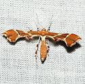 Geina species ? - Cnaemidophorus rhododactyla