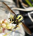 Wasp Mimic - Chrysotoxum