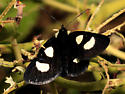 Owlet Moths - Alypia