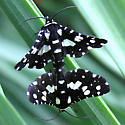 Thyris sepulchralis - Pseudothyris sepulchralis - male - female