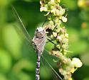 blue Dragonfly 2 - Aeshna interrupta