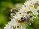 Slim-faced bees - Andrena