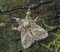 Dasychira obliquata - male