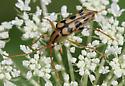 Longhorn - Strangalia luteicornis