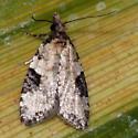 Moth - Anopina triangulana