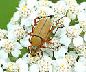 Rose Chafer - Macrodactylus subspinosus - male - female