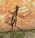 Stilt Legged Fly - Calobatina geometra