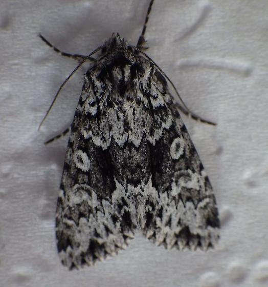 Oregon-Nov - Platypolia contadina