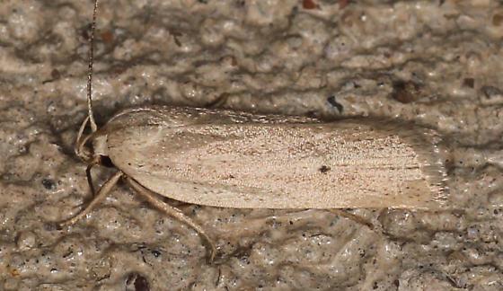 helcystogramma fernaldella - Gonioterma mistrella