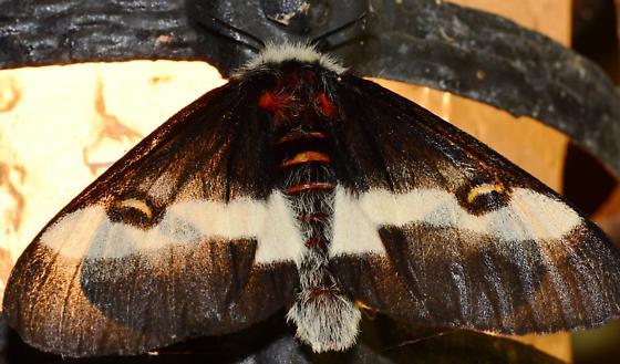 Buck Moth? - Hemileuca maia - female