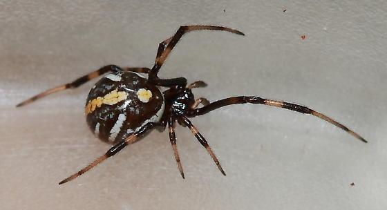 Southern Black Widow - Latrodectus mactans - male