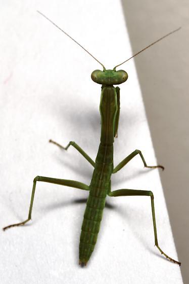 Juvenile mantis - Iris oratoria