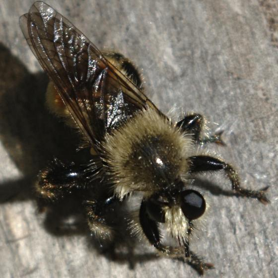 Bee-like robber fly - Laphria fernaldi