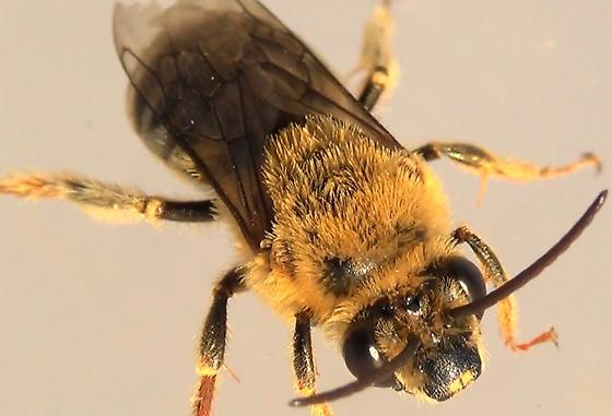 Mr. Squash Bee #2 of 3 - Peponapis pruinosa - male