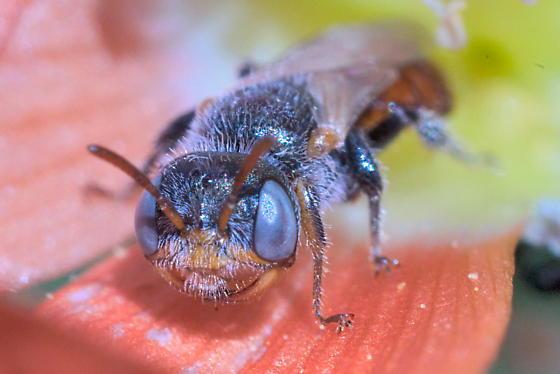 Bee 5-6mm, Macrotera? - Macrotera