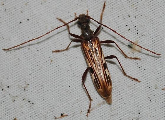 Long-horned Beetle sp.? - Leptorhabdium pictum