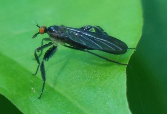 fly of some kind?  - Rhamphomyia