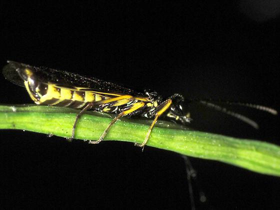 Cephidae? - Cephus pygmaeus