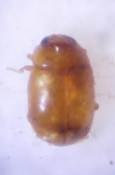 Small Beetle - Selvadius