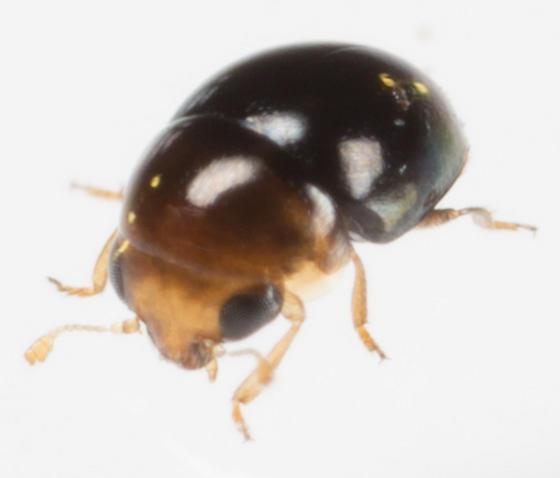 Beetle - Cybocephalus nipponicus
