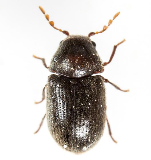 Beetle - Sculptotheca puberula