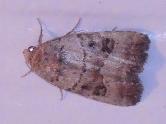 Elaphria grata? - Elaphria fuscimacula