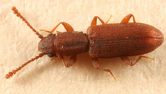 flat bark beetle - Silvanus bidentatus