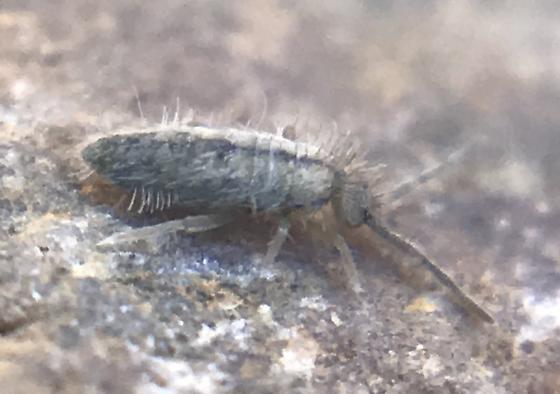 Springtail 2