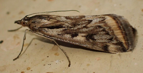 Mottled crambid moth - Loxostege