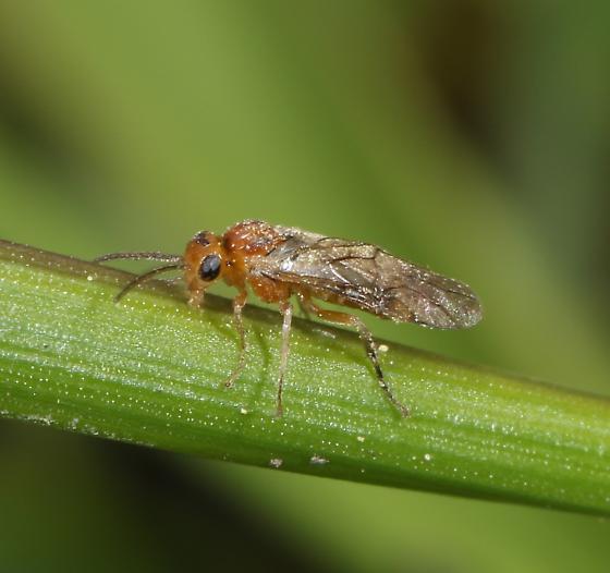 Small Sawfly, Species?