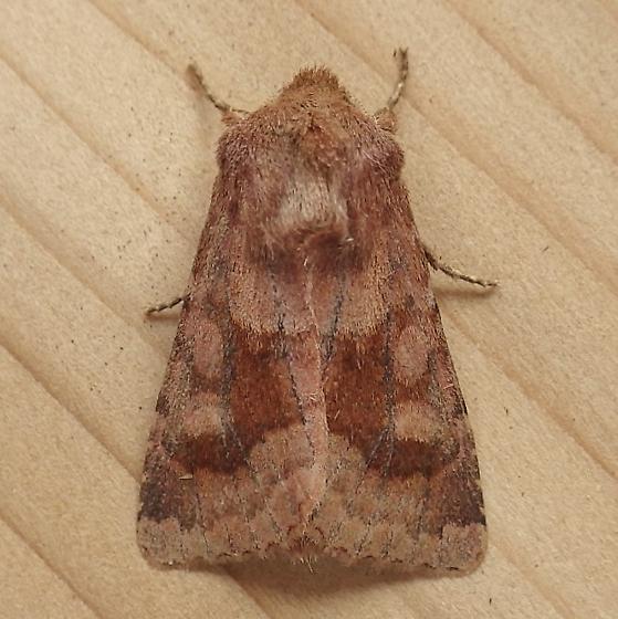 Noctuidae: Nephelodes minians - Nephelodes minians