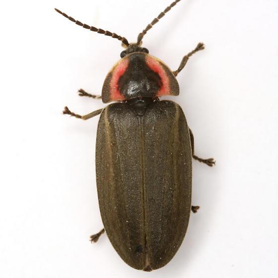 Ellychnia corrusca (Linnaeus) - Ellychnia corrusca