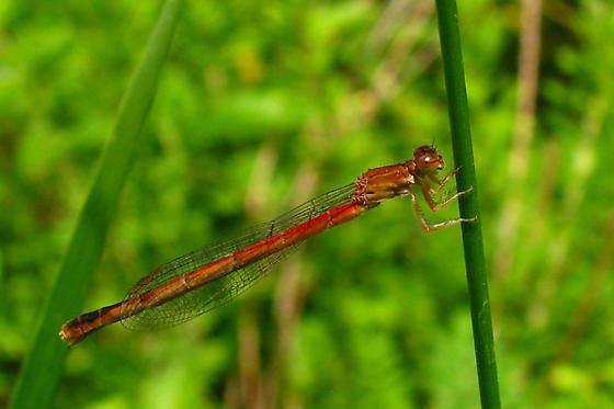 Eastern Red Damsel - Amphiagrion saucium - female
