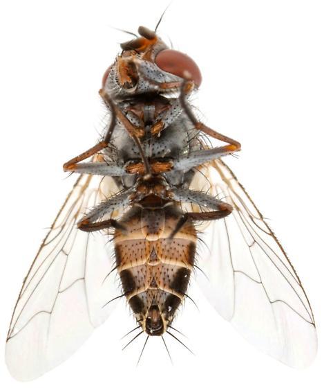 Oestroidea - Taxigramma