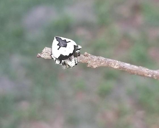Araneidae - genus, species? - Eustala anastera