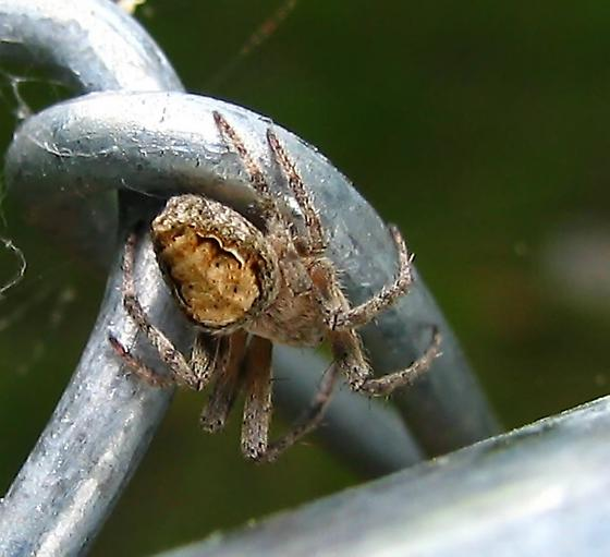 What spider? - Eustala anastera