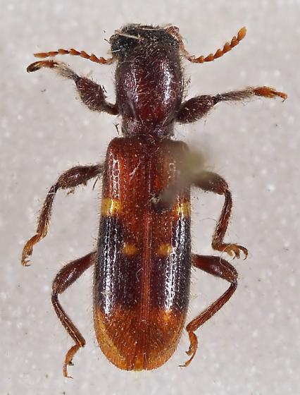 Clerid Beetle - Priocera castanea