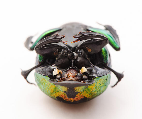 Rainbow dung beetle, Phanaeus vindex? - Phanaeus vindex