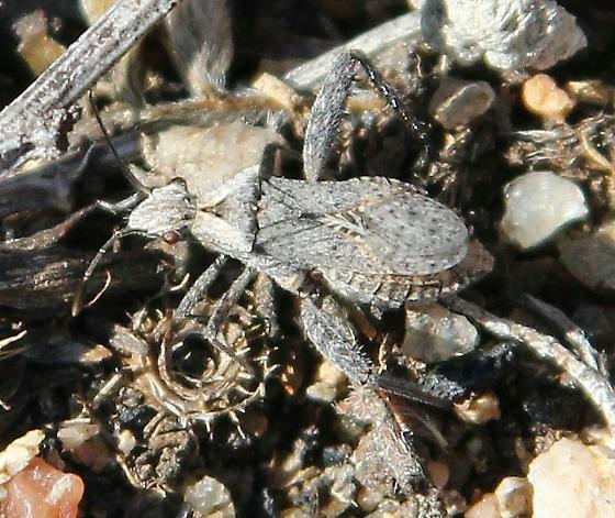 bug, flat, grays, long back legs - Stachyocnemus apicalis