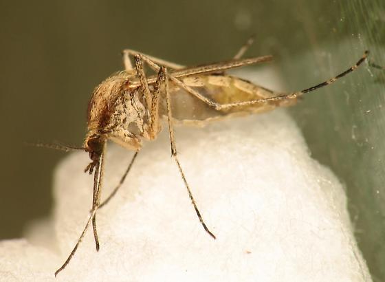 Here she is - Ochlerotatus dorsalis - female