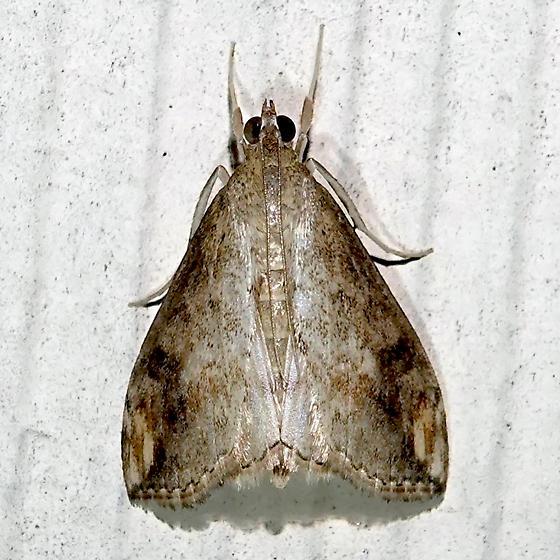 Evergestis rimosalis -Cross-striped Cabbageworm Moth - Evergestis rimosalis