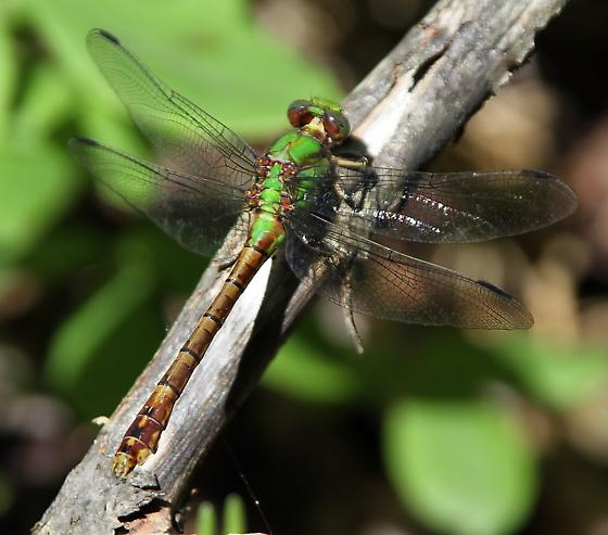 Rusty Snaketail - Ophiogomphus rupinsulensis - female