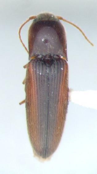 Glyphonyx 08 - Glyphonyx inquinatus