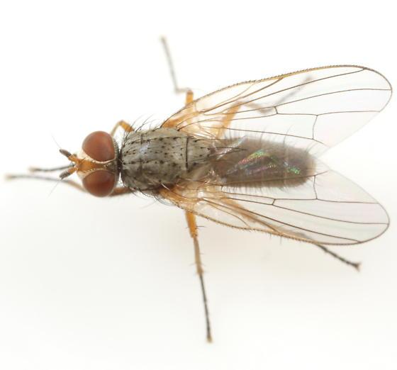 Pegomya hyoscyami - male