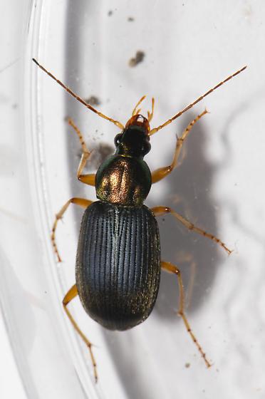 Chlaeniellus  - Chlaenius tricolor