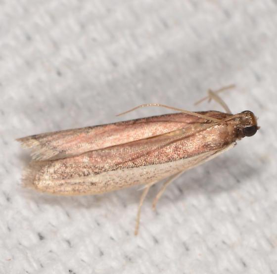 Tampa dimediatella - Tampa Moth  - Tampa dimediatella