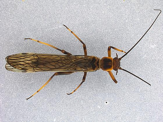 Megaleuctra - female