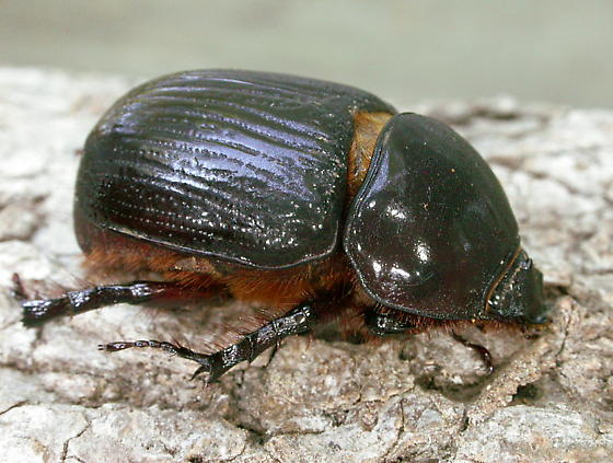 Rhinoceros Beetle - Xyloryctes jamaicensis - female