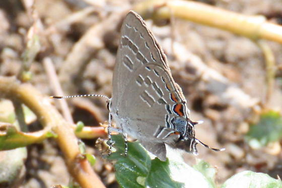 Barred Hairstreak - Satyrium caryaevorus